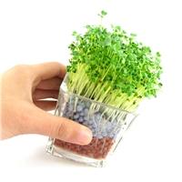 DIY陶碳球负离子植栽-心形草 透明色